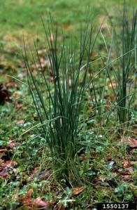 wild_garlic_plants